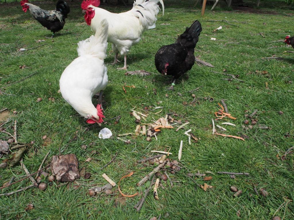 Poules mangent déchets